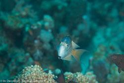 BD-120425-Marsa-Alam-6538-Genicanthus-caudovittatus-(Günther.-1860)-[Zebra-angelfish].jpg